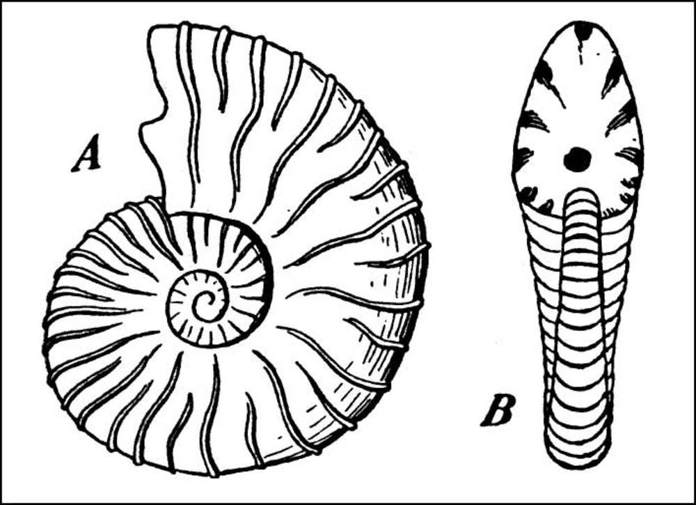 Fòssils de la fauna de l´Albià: <em>Parahoplites deshayesi</em>.