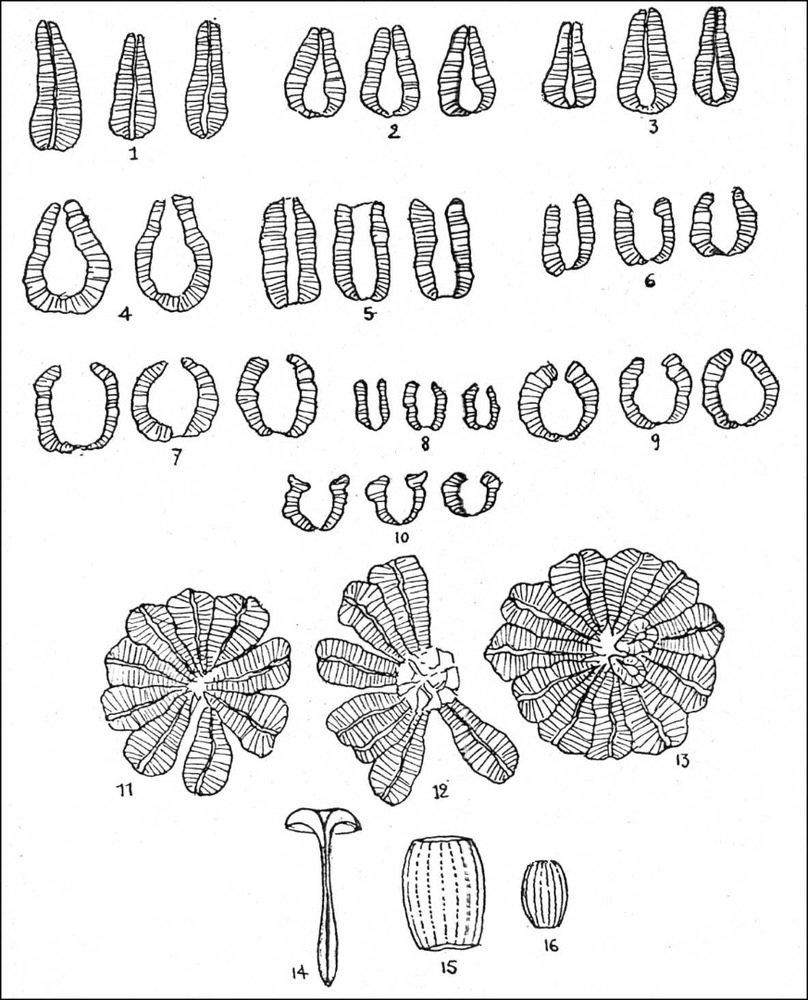 Albià. <em>Nannoconus </em>més freqüents a Eivissa: 1, <em>N. steinmanni</em>; 2, <em>N. kamptneri Bronnimann</em>; 3, <em>N. colomi </em>(Lapp.); 4, <em>N. wassalli </em>Bronn.; 5, <em>N. elongatus </em>Bronn; 6, <em>N. truitt</em> Bronn; 7, <em>N. globulus</em> Bronn.; 8, <em>N. minutus</em> Bronn.; 9, <em>N. bucheri </em>Bronn.; 10, <em>N. boletus </em>Delf.; 11-13, Formes en <em>rossetta</em> segons Trejo; 14, <em>rhabdolitnes</em>; 15-16, <em>lopadolites</em>.