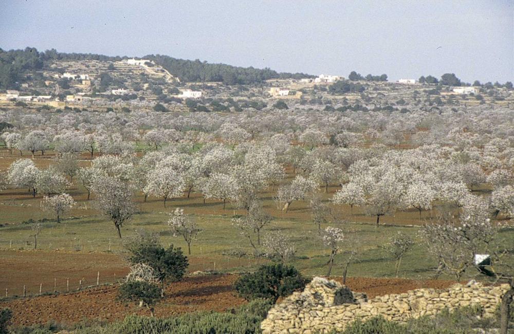Geografia. Biogeografia. Ametllers florits al pla de Corona. Foto: Marià Planells Cardona.