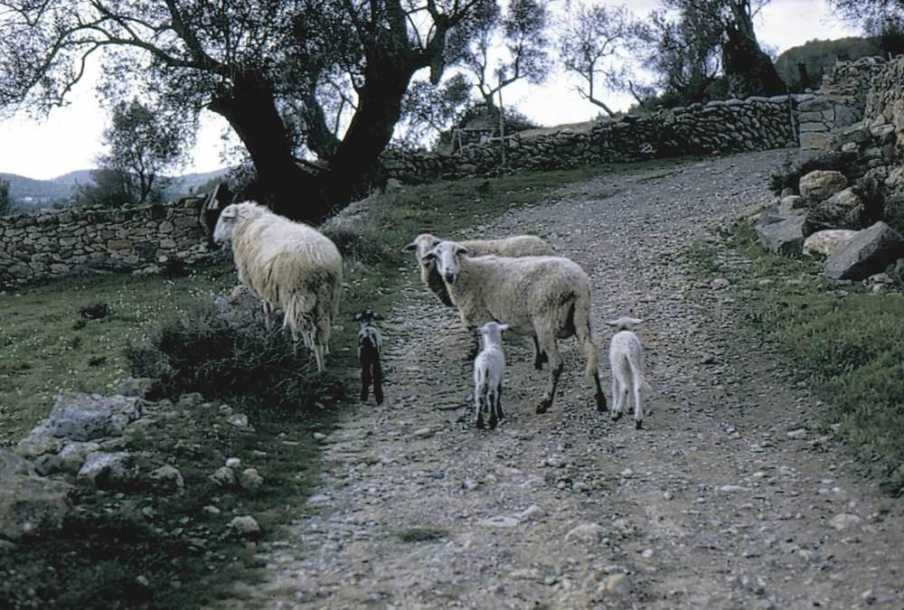 Geografia. Sector primari. La ramaderia ha estat tradicionalment associada a l´agricultura; és un complement més dins la gran diversificació de les produccions de cada explotació familiar. Foto: Marià Planells Cardona.