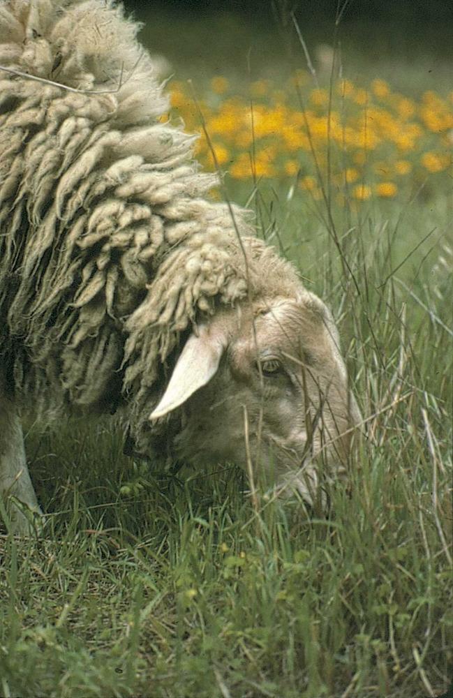 Geografia. Sector primari. La ramaderia ovina presenta una raça autòctona molt adequada i adaptada a l´illa. Foto: Marià Planells Cardona.