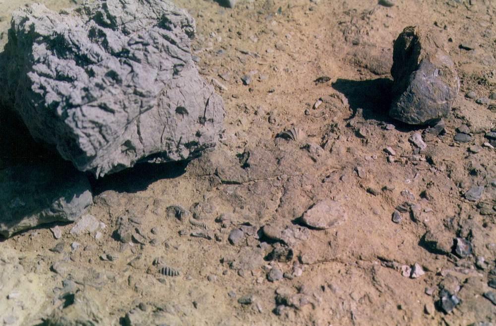 Geologia. Fons endurit del Ca amb abundància de bivalves a la superfície, a la punta de ses Torretes. Foto: Xavier Guasch Ribas.