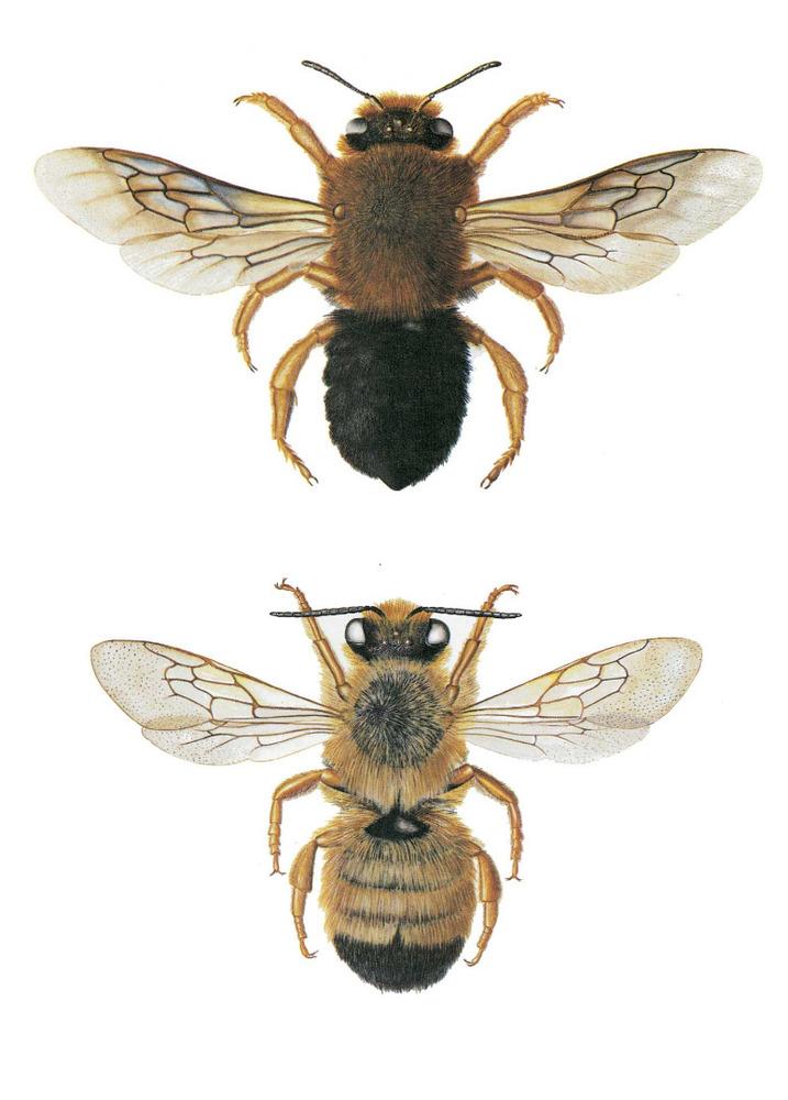 Fauna. <em>Chalicodoma sicula balearica</em>, mascle i femella. Una abella comuna i àmpliament distribuïda per totes les illes Balears. Extret de Veröffentlichungen aus dem Übersee-Museum Bremen, 1978.