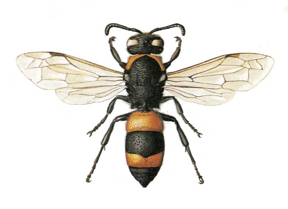 Fauna. <em>Ancistrocerus ebusitanus</em>, abella endèmica de Mallorca, Eivissa i Cabrera.  Extret de Veröffentlichungen aus dem Übersee-Museum Bremen, 1978.