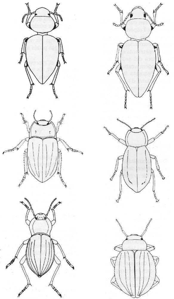 Fauna. Escarabats tenebriònids endèmics de les Pitiüses. D´esquerra a dreta i de dalt a baix: <em>Pachychila Sublunata</em>, <em>Tenthyria ophiusae</em>, <em>Alphasida ibicensis</em>, <em>Asida mater gasulli</em>, <em>Akis bremeri</em> i <em>Pimelia elevata</em>. Extret d´<em>Estudis Baleàrics</em>, 16, març 1985.