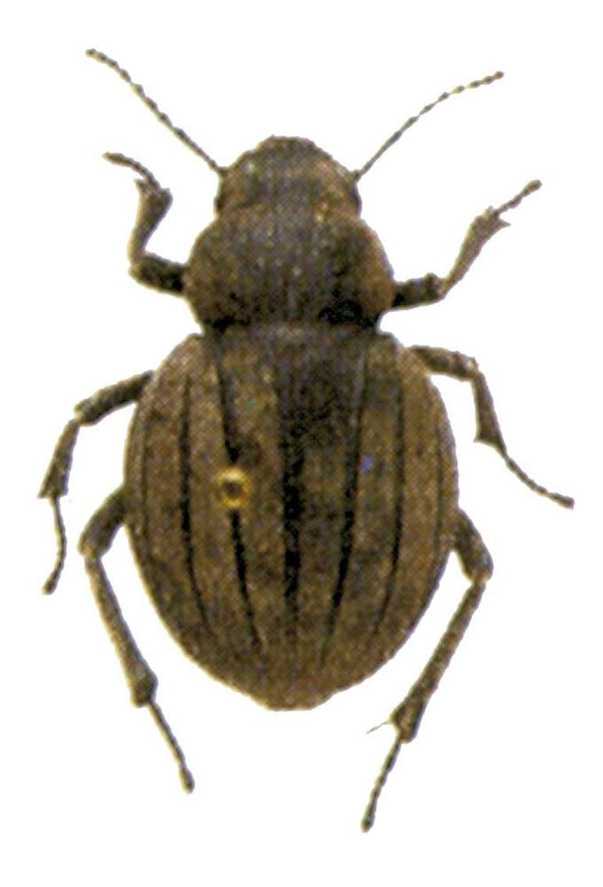 Fauna. Escarabat fura (gènere <em>Pimelia</em>) molt comú a Eivissa. Extret de <em>Guia dels insectes dels Països Catalans</em>, de J. Pujada i V. Sarto.