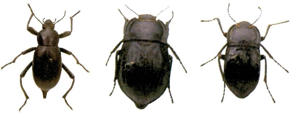 Fauna. D´esquerra a dreta, escarabat poller o pudent (gènere <em>Blaps</em>) i <em>Alphasida</em>, mascle i femella. Extret de <em>Guia dels insectes dels Països Catalans</em>, de J. Pujada i V. Sarto.