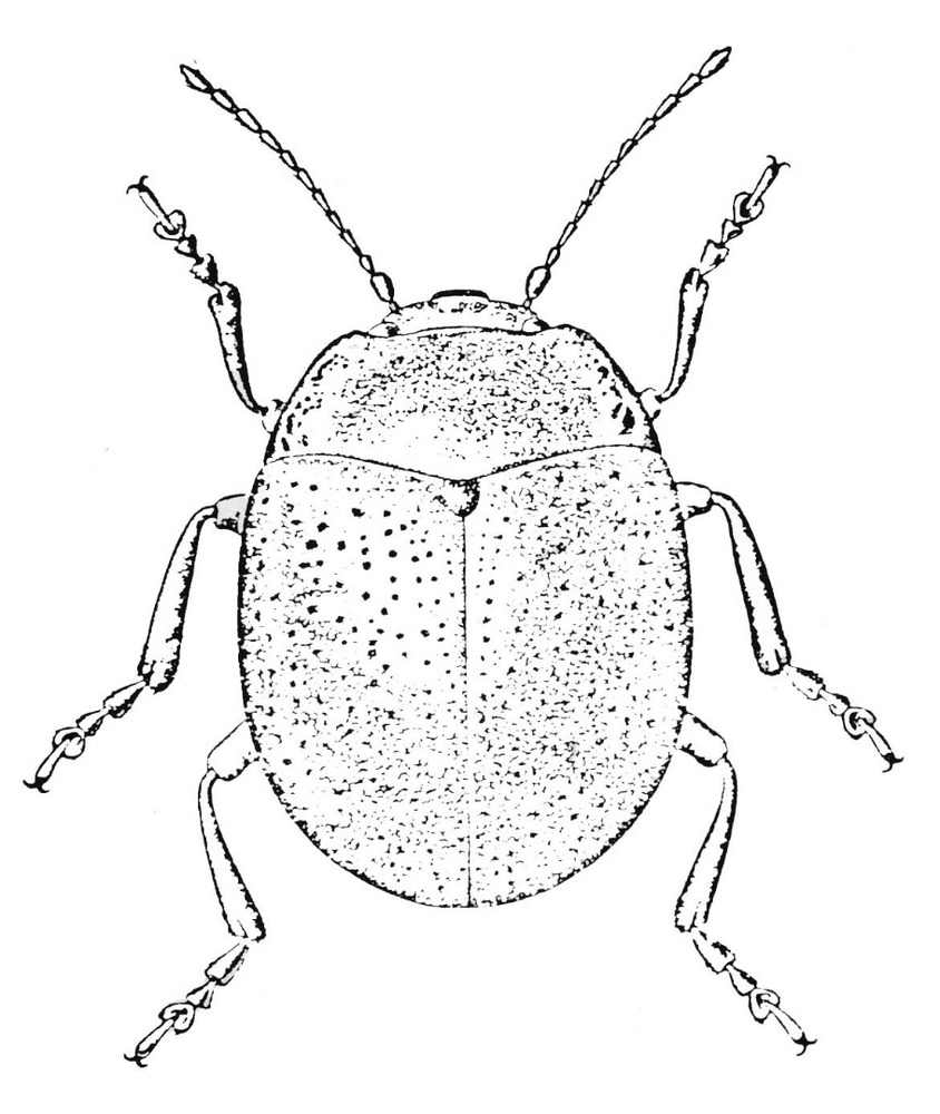 Fauna. Escarabat lluent, <em>Chrysolina banski ibicensis</em>. Extret d´<em>Estudis Baleàrics</em>, 16, març 1985.