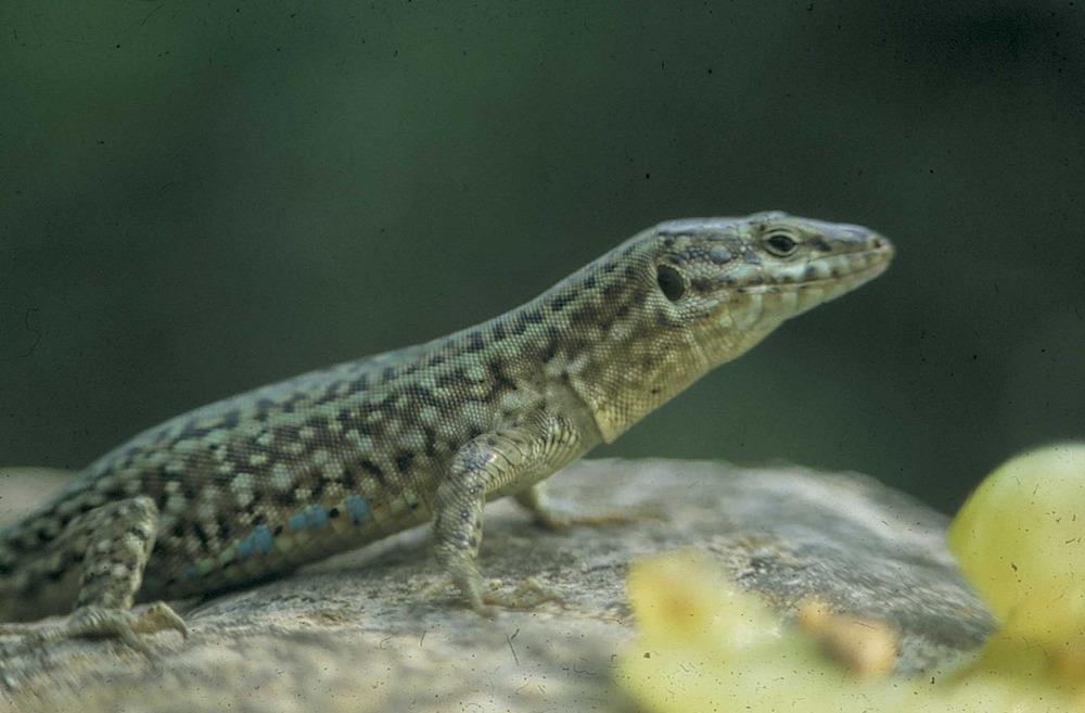 Fauna. La sargantana pitiüsa, <em>Podarcis pityusensis</em>, molt abundant a les illes i els illots de les Pitiüses. Els taxonomistes n´han descdrit fins a 45 subespècies. Foto: Marià Planells Cardona.