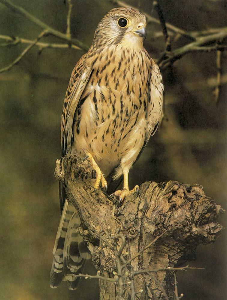 Fauna. Xoriguer, <em>Falco tinnunculus</em>. Foto: Tony Tilford / <em>Història Natural dels Països Catalans</em>.
