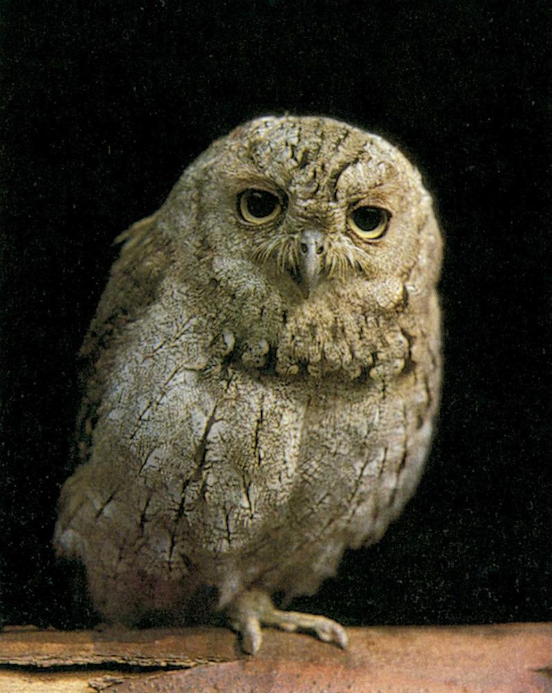 Fauna. Mussol, <em>Otus scops</em>. Foto: Xavier Parellada / <em>Història Natural dels Països Catalans</em>.