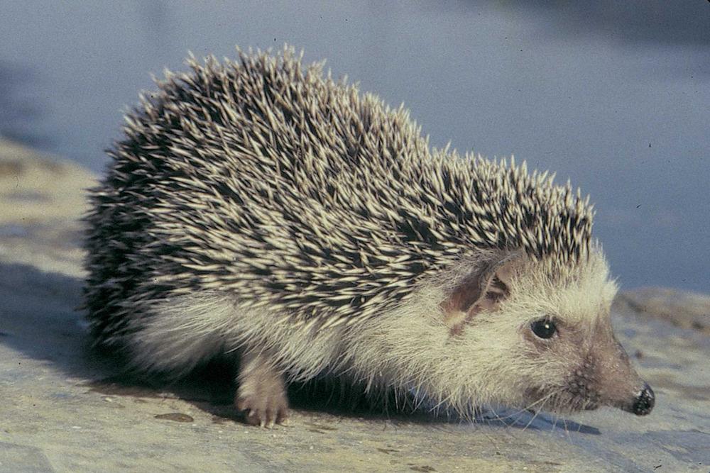Fauna. Un eriçó, <em>Atelerix algirus</em>, mamífer molt abundant a tots els hàbitats d´Eivissa. Foto: Marià Planells Cardona.