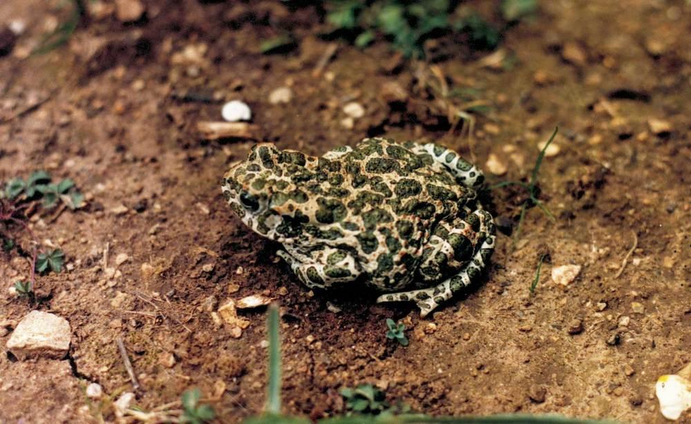 Fauna. El calàpet, <em>Bufo viridis</em>, amfibi molt abundant un temps a ses Feixes; ara s´ha rareficat molt. Foto: María Soledad Torres Martín.