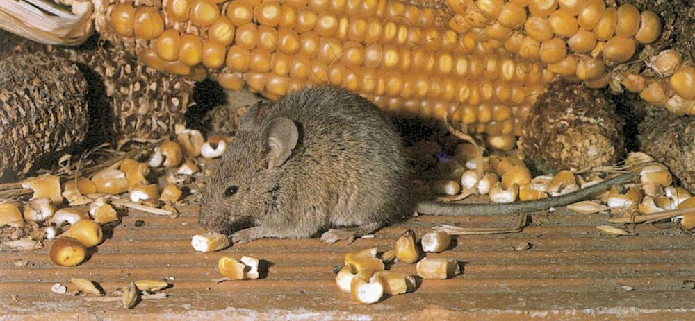 Fauna. El ratolí domèstic (<em>Mus musculus</em>), molt relacionat amb els hàbitats humans rurals. Foto: Jordi Muntaner / <em>Història Natural dels Països Catalans</em>.