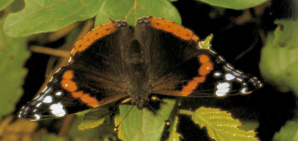 Fauna. Una papallona del gènere Vanessa. Foto: Enric Curto / <em>Història Natural dels Països Catalans</em>.