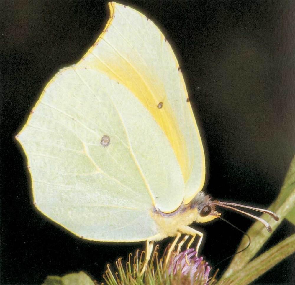 Fauna. Una papallona grogueta o llimonera, del gènere Gonepteryx. Foto: Enric Curto / <em>Història Natural dels Països Catalans</em>.