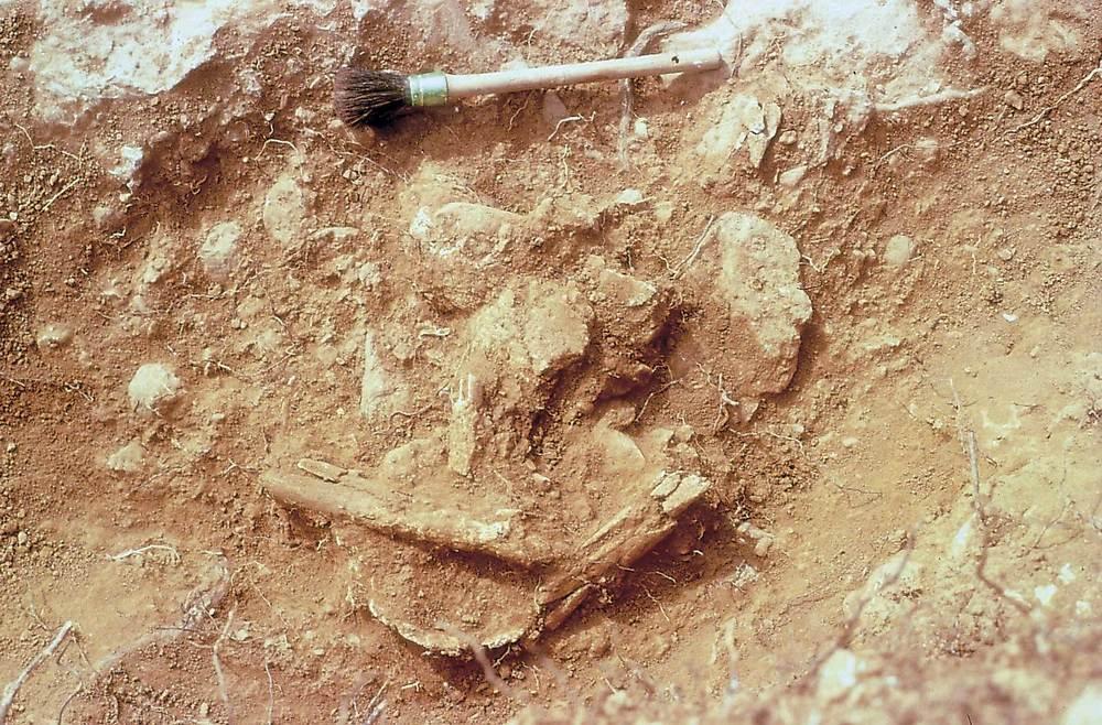 Prehistòria. Can Sergent I, detall d´unes restes òssies humanes en el moment de la seua excavació. Foto: Jordi H. Fernández Gómez.
