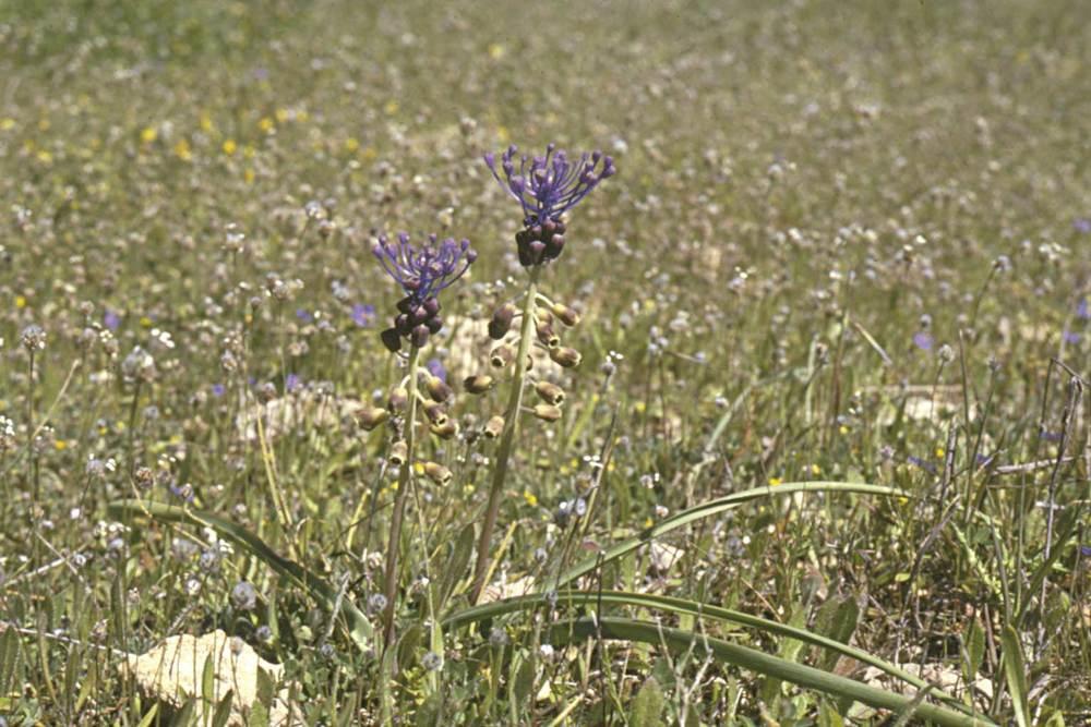 Formentera. Flora. Cabeçola (<em>Muscari comosum</em>). Foto: Pepa Planells.