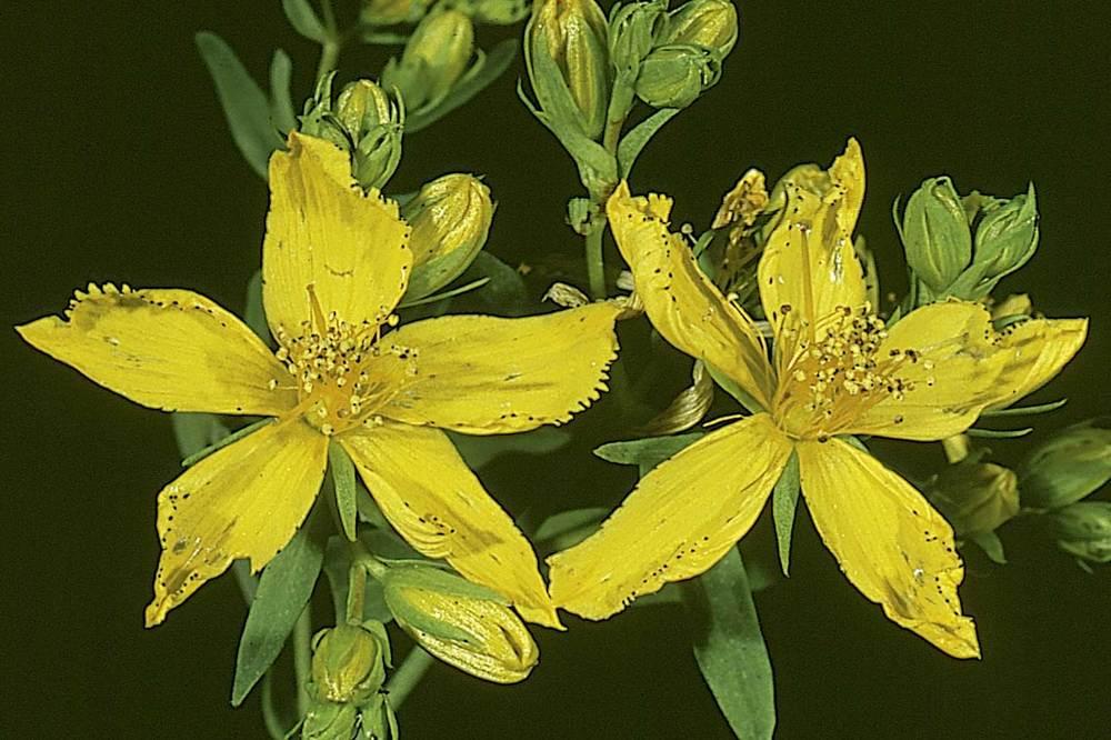 Formentera. Flora. Pericó (<em>Nypericum perforatum</em>). Foto: Antonio Manzanares.