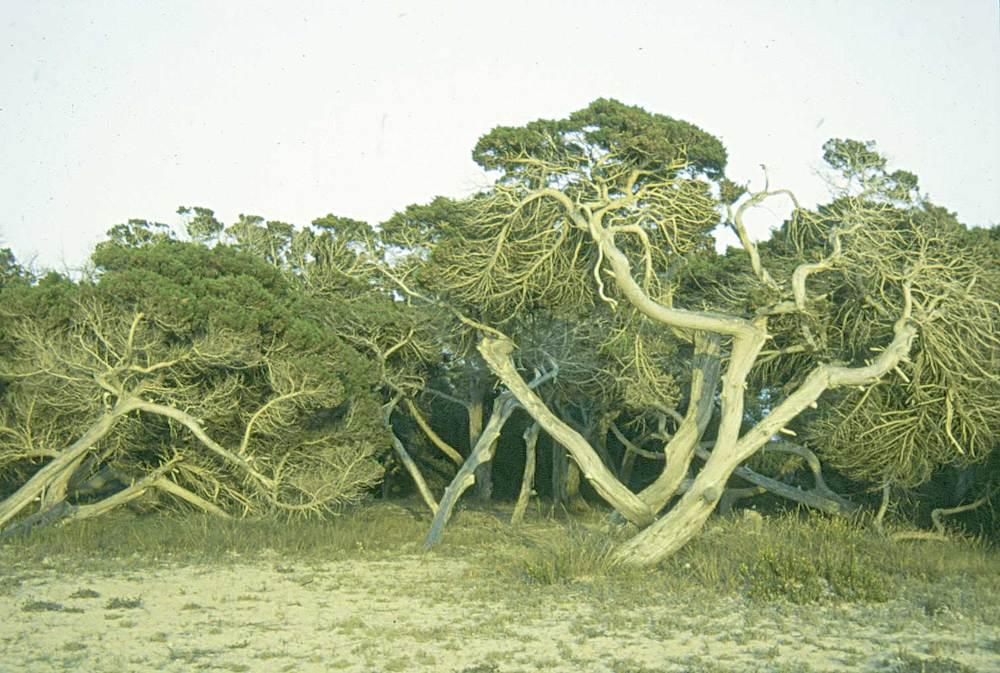 Formentera. Flora. Savinar (<em>Juniperus phoenicea</em>) al Cavall d´en Borràs. Foto: Pepa Planells.