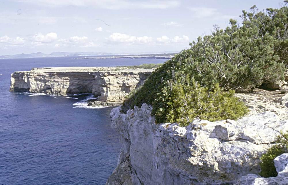 Formentera. Flora. La vegetació arbustiva litoral està afectada per la salinitat i abunda als penyals de l´illa. Foto: Pepa Planells.