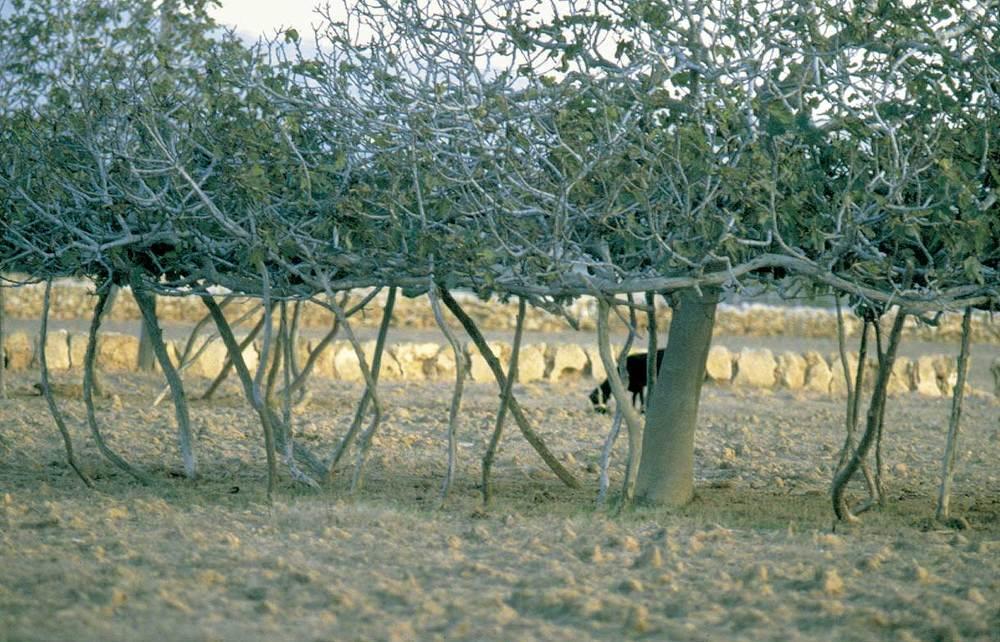 Formentera. Flora. Les figueres constitueixen una de les singularitats del paisatge agrícola. Foto: Joan Antoni Riera.
