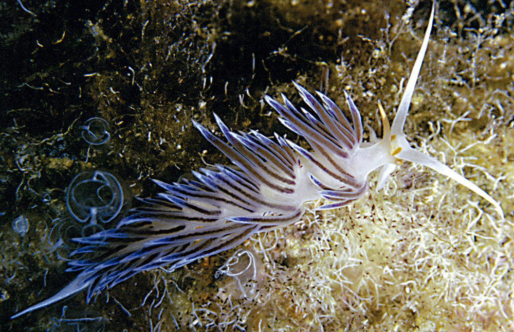Un flabel·línid, mol·lusc marí de l´ordre dels nudibranquis, present als fons de la Reserva Marina des Freus d´Eivissa i Formentera. Foto: Manu San Félix.