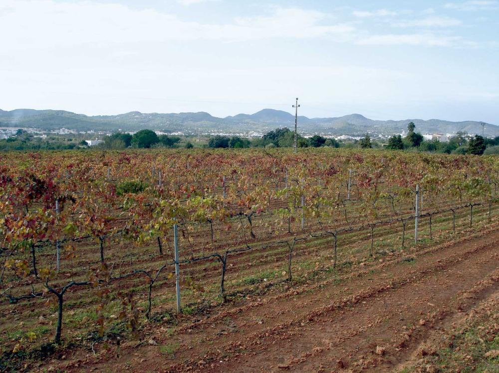 Sant Antoni de Portmany. Cultiu de vinya al pla de Portmany, vora el camí de sa Vorera, que ocupa unes 17 ha i pertany a un celler modern. Foto: EEiF.