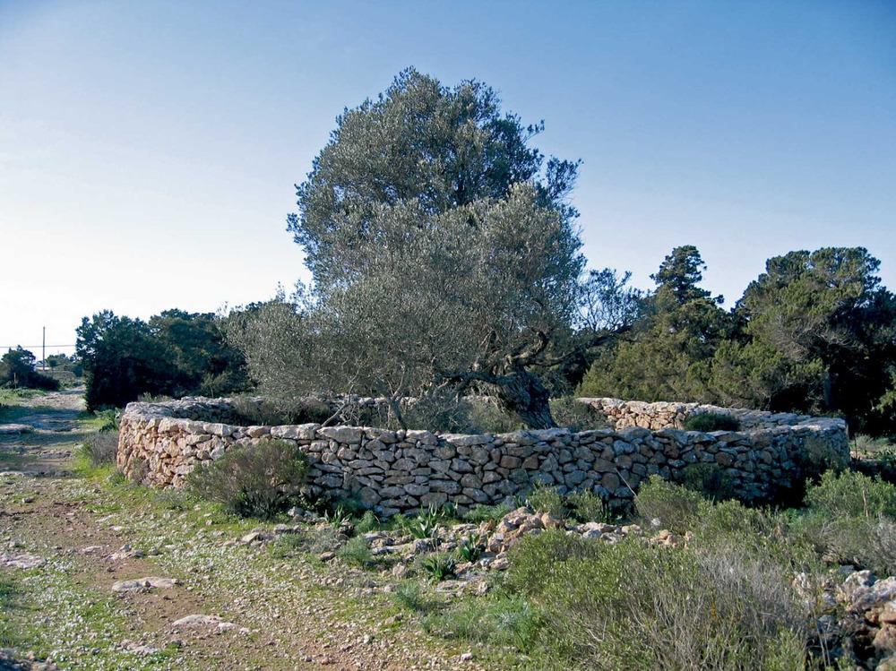 Sant Ferran de ses Roques. Cultiu d´olivera. Foto: Vicent Ferrer Mayans.