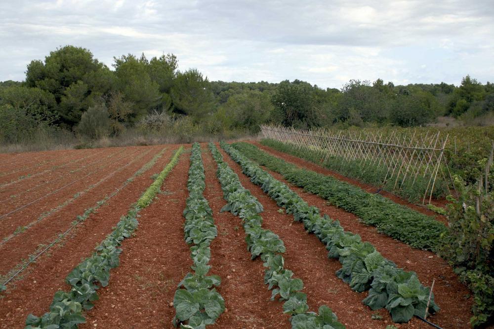 Municipi de Santa Eulària des Riu. Explotació agrícola a la vénda de s´Església. Foto: EEiF.