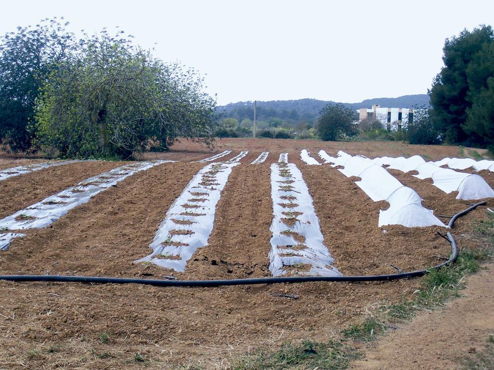 Santa Gertrudis de Fruitera. Agricultura moderna a les proximitats del poble. Foto: Marta Tur Tur.