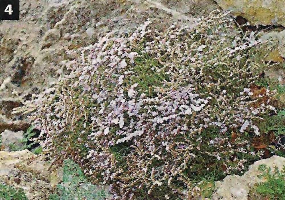 La saladina (<em>Limonium ebusitanum</em>) &eacute;s una esp&egrave;cie de zones rocoses que &eacute;s present en aquest illot. Foto: Jordi Serapio Riera.