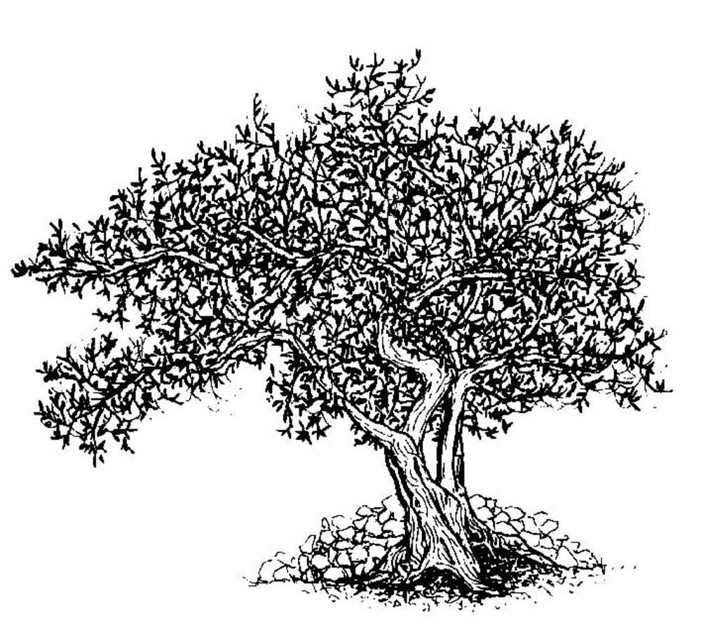 Agricultura. Dibuix d´una olivera realitzat per Valérie Gevers, extret del llibre del TEHP <em>Eivissa. El palau pagès</em>.