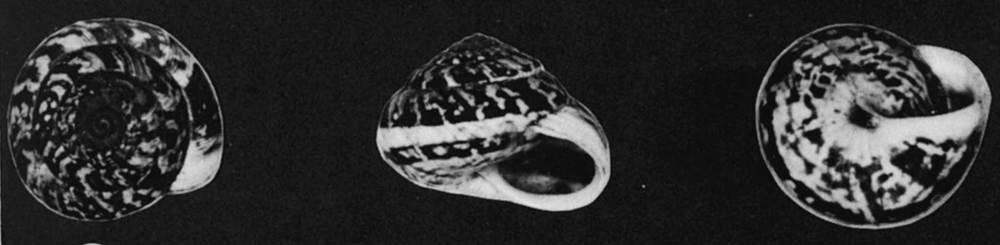 Endemisme. Caragol endèmic de l´espècie <em>Trochoidea caroli</em>.