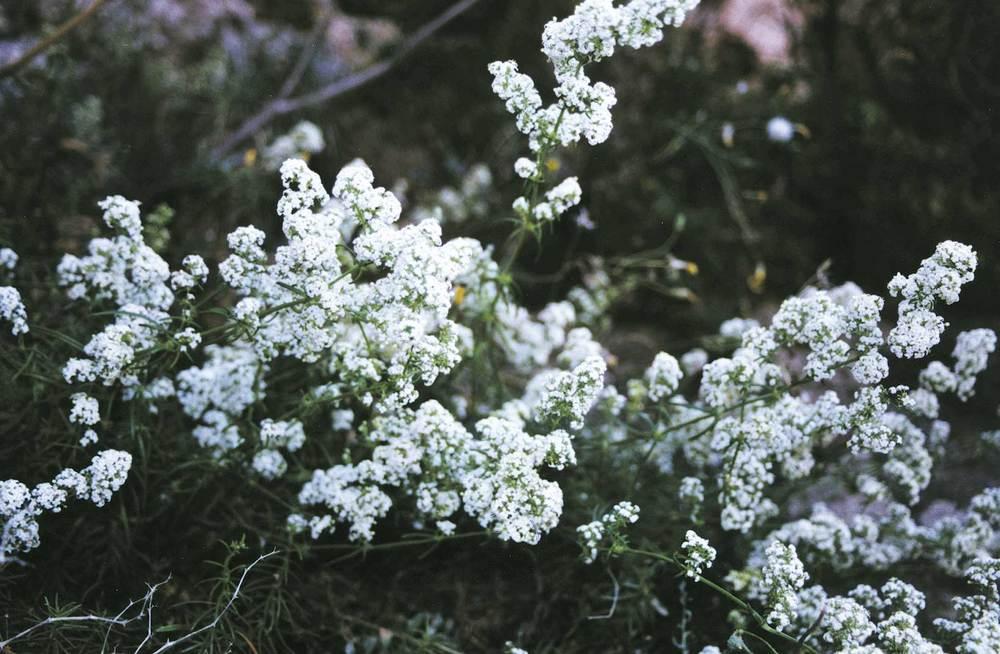 Exemple d´endemisme piti&uacute;s: <em>Galium friedrichii</em>. Foto: Guillem Puget Acebo.