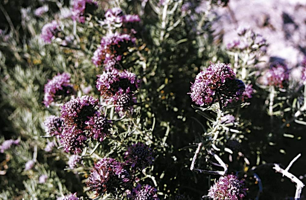 Exemple d´endemisme piti&uacute;s: <em>Teucrium cossonoii</em>. Foto: Guillem Puget Acebo.