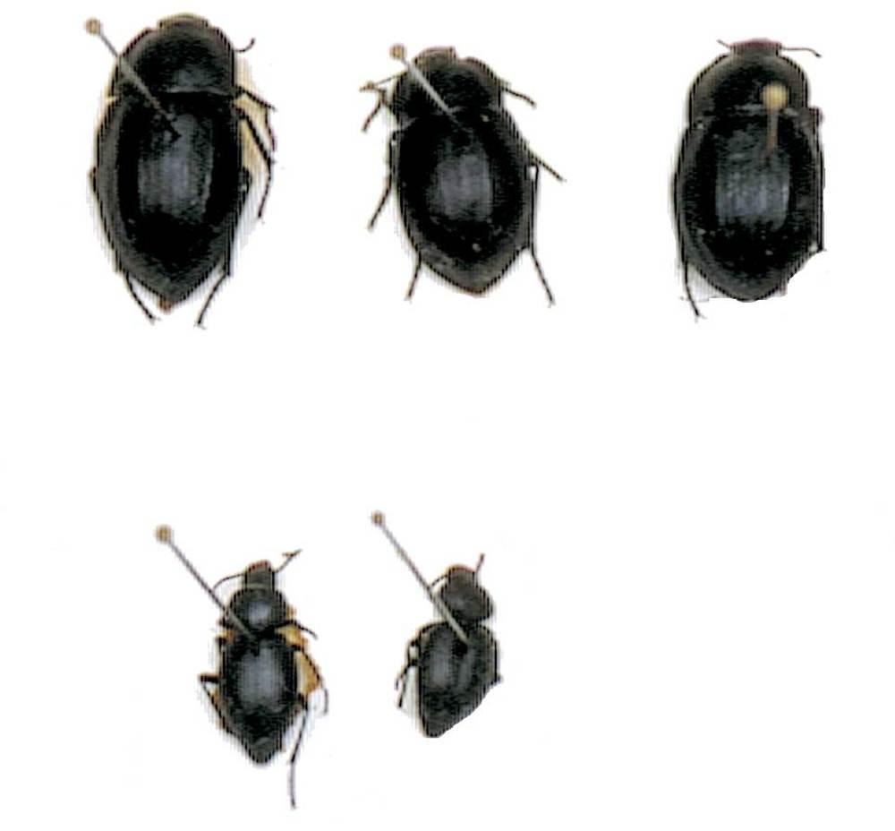 Endemisme. Diversos escarabats endèmics de la família dels tenebriònids. Foto: G. G. Lama.