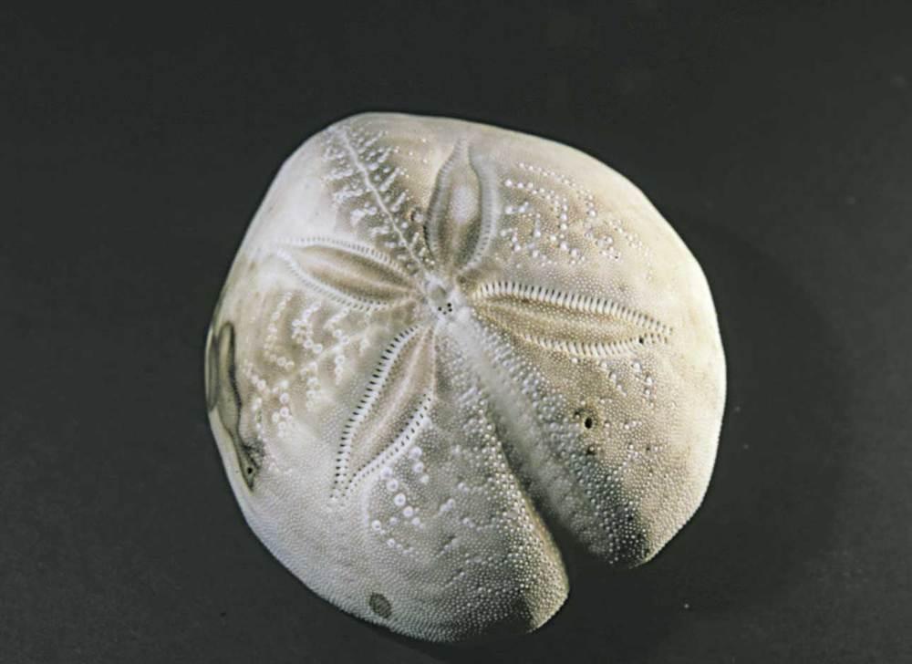 Equinoïdeus. Closca d´un bogamarí cor cendrós. Foto: Vicent Marí.