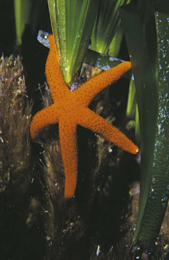Equinoderms. Una estrella vermella. Foto: Rainer Klingner.