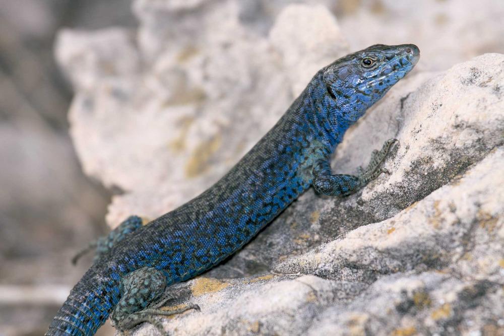 Sargantana. <em>Podarcis pityusensis muradae maluquerorum</em> (illa Murada). Foto: Jordi Serapio Riera.