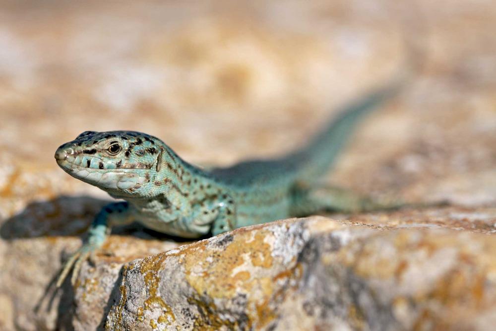 Sargantana. <em>Podarcis pityusensis formenterae</em> (Formentera). Foto: Jordi Serapio Riera.