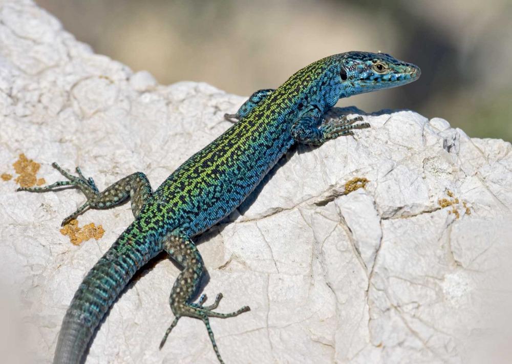 Sargantana. <em>Podarcis pityusensis vedranellensis</em> (es Vedr&agrave;). Foto: Jordi Serapio Riera.