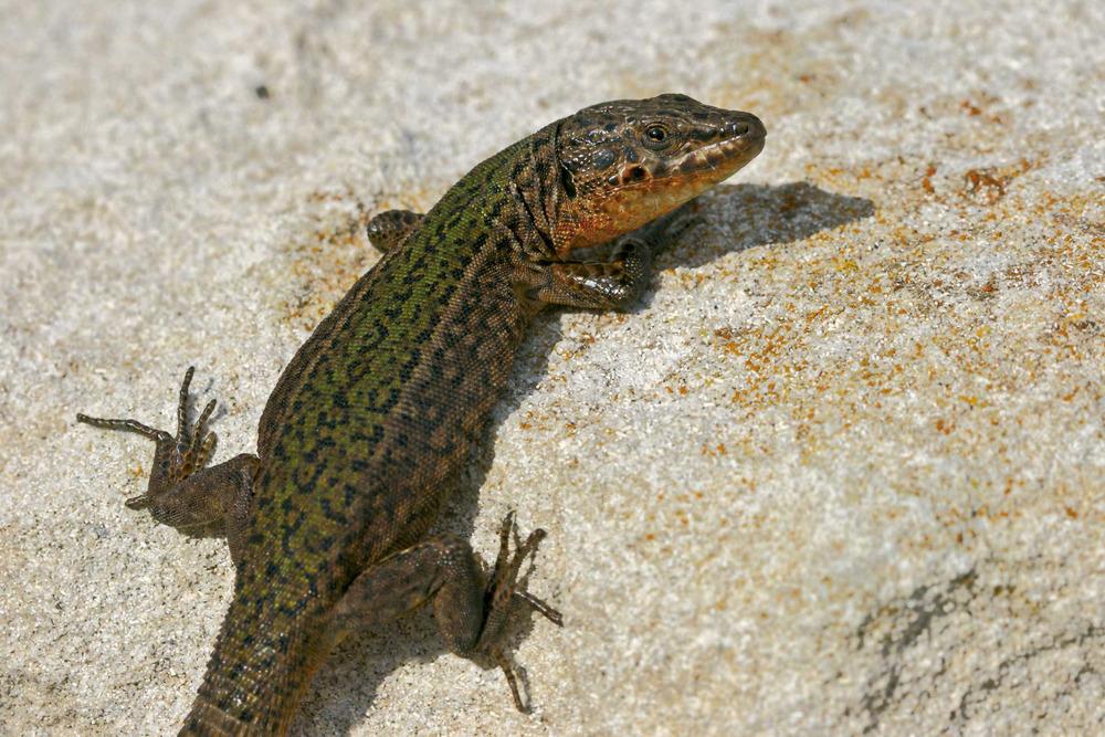 Sargantana. <em>Podarcis pityusensis ahorcadosi</em> (illa des Penjats). Foto: Jordi Serapio Riera.