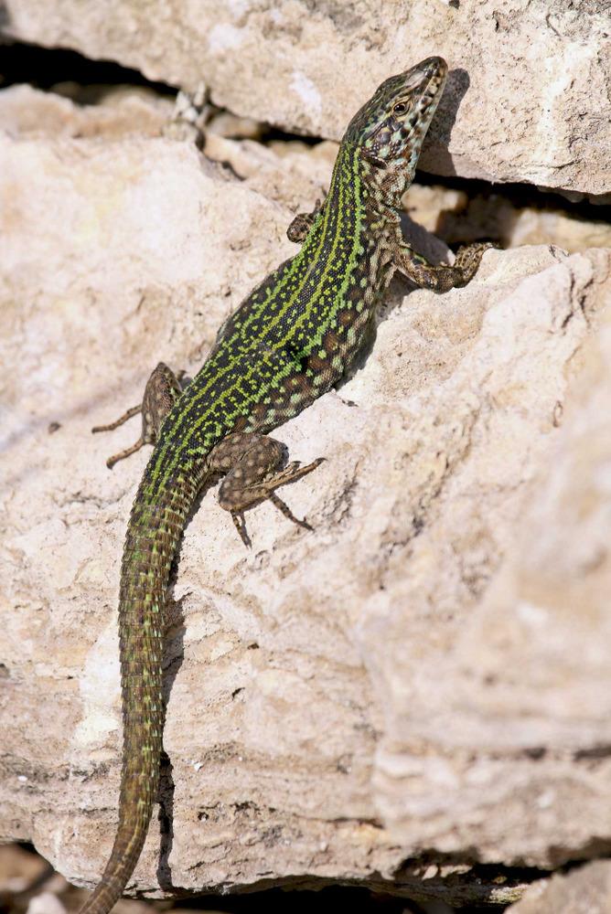 Sargantana. <em>Podarcis pityusensis schreitm&uuml;lleri affinis</em> (Malv&iacute; Sud). Foto: Jordi Serapio Riera.