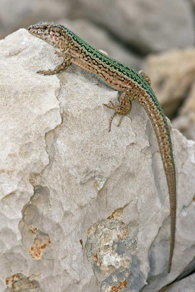 Sargantana. <em>Podarcis pityusensis calasaladae</em> (illot de Cala Salada). Foto: Jordi Serapio Riera.