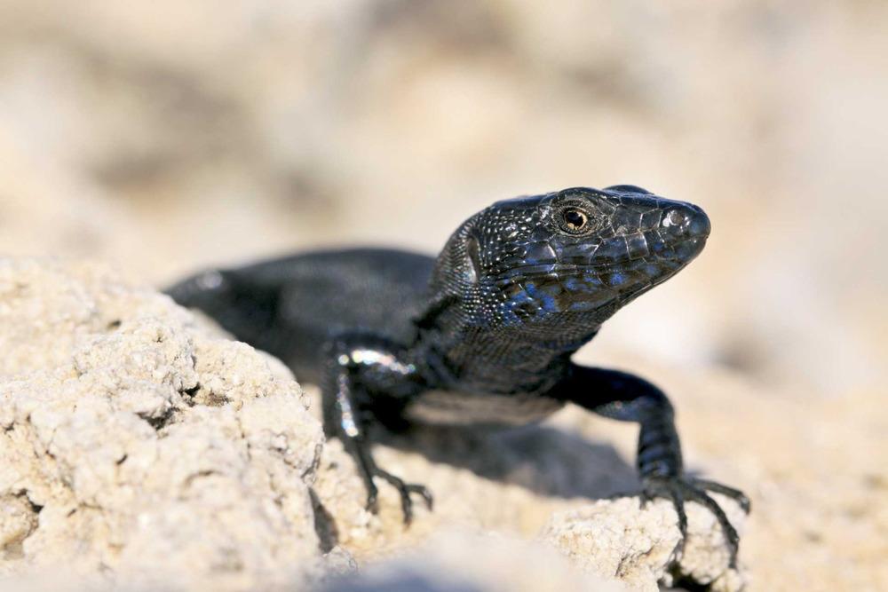 Sargantana. <em>Podarcis pityusensis maluquerorum</em> (Bleda na Plana). Foto: Jordi Serapio Riera.