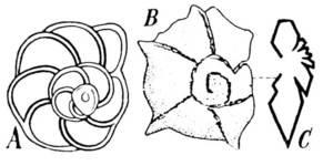 Dues espècies de globotruncanes de l´Aaquenià eivissenc: a) espècie de conquilla llisa; b) espècie de conquilla espinosa; c) secció.