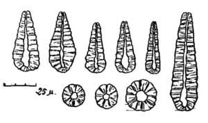 Diversos Nannoconus en seccions longitudinals i transversals.