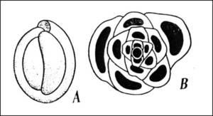 Fòssils de la fauna de l´Albià: <em>Milliola</em> amb la seua conquilla, i secció.