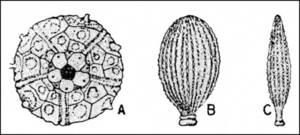 <em>Fòssils de la fauna de l´Albià: Cidaris pirenaica</em> i dues <em>Radiolas</em>, la <em>glandifera</em> i l´<em>elongata</em>, respectivament.